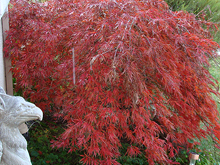 Love the Japanese Maple this time of year...