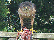 Hawk eating a pigeon