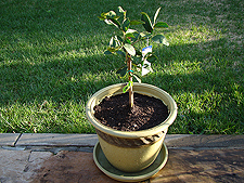 New lime tree