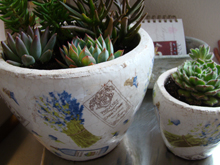 More potted succulents that will go outside when the new gazebo is finished.