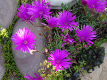 Ice plant by the pond.