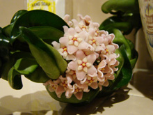 beautiful bloom from Hoya plant cutting