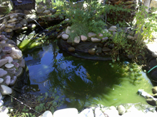 Draining part of the pond for a water change.