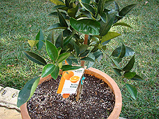 New orange tree.