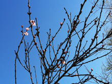 Peach tree blossoms starting.