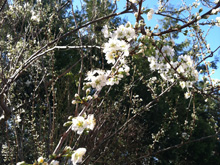 Blossoms on plum tree